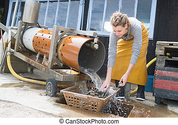 shellfish oysters cleaning processing