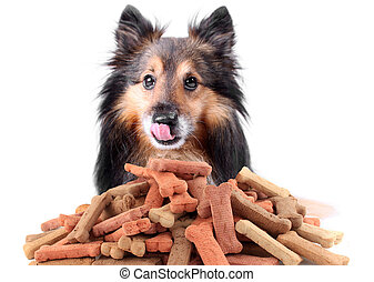 Sheltie and dog biscuits - Beautiful Sheltie licking his...