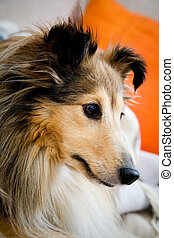 Sheltie - Cute sheltie laying on the couch, shallow focus