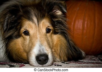 Sheltie dog with pumpkin - Close up of Sheltie dog face with...