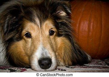 Sheltie dog with pumpkin