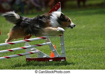 Sheltie doing dog agility - A Sheltie goes over a jump ...
