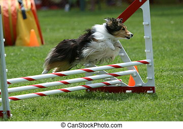 A Sheltie goes over a jump during a dog agility event.