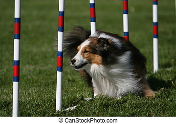 A Sheltie weaves through the poles during a dog agility event.