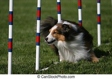 Sheltie doing dog agility - A Sheltie weaves through the...