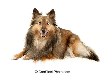 sheltie, furry, vacker