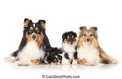 sheltie, hund, Rassen
