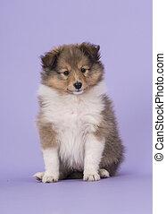 sheltie, junger hund, auf, a, purpurroter hintergrund