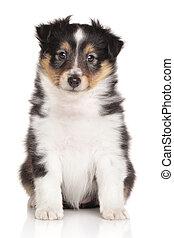sheltie, junger hund, weiß, hintergrund