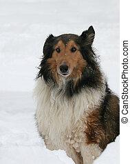 sheltie, neige