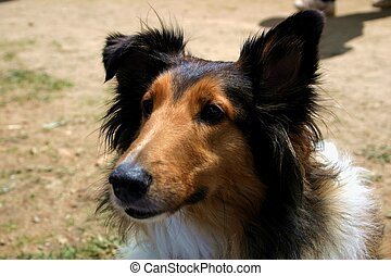 Sheltie - Sheltland sheepdogs are used as herding dogs,...