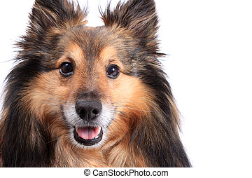 Sheltie portrait