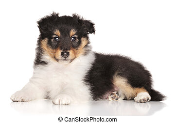 Sheltie puppy lying on white background