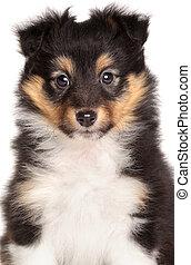 Sheltie puppy on white background