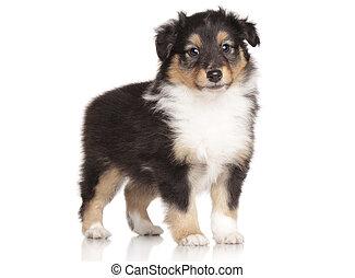 Sheltie puppy posing on white background