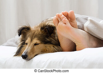 Sheltie sleeping with her owner - Dog sleeping on the bed by...