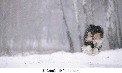 sheltie, slo-mo, shetland, extérieur, hiver, sheepdog, rigolote, jeune, colley, outdoors., season., mouvement, neige, jouer, chouchou, lent, espiègle