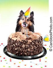 sheltie, torta de cumpleaños