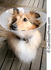 Sheltie with a collar