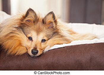 shelty, hund, lies, in, hund korb