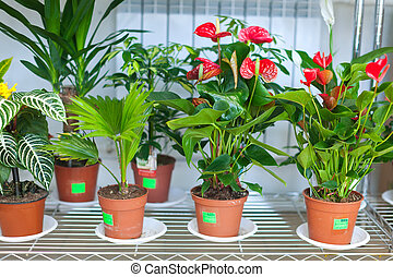 Shelves with anthurium in flower shop