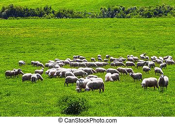 Shep on a green meadow