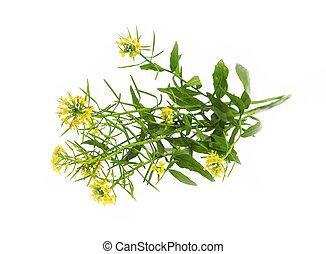 sheperd's, (capsella, geldbeutel, pflanze, freigestellt, ...