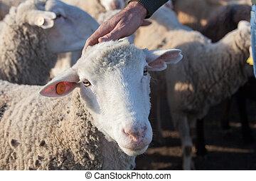 Hand of the shepherd caress a sheep head, Extremadura, Spain