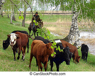 cowboy - shepherd, cowboy and green grass and forest pasture