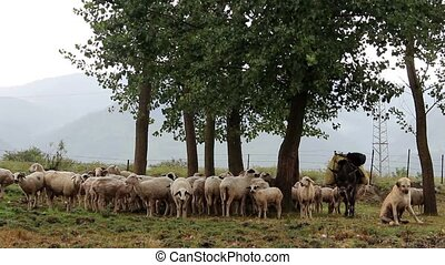 shepherd dog and flock of sheep after rain (anatolia)