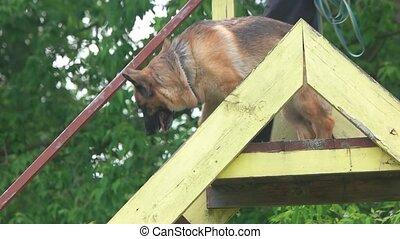 Shepherd dog is slowly moving downstairs. Shepherd dog is...