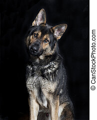 Shepherd dog looking at the camera