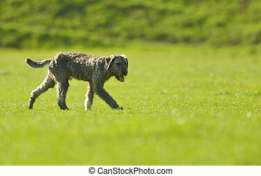 shepherd dog on meadow