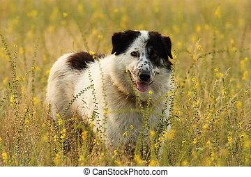 shepherd dog on natural meadow