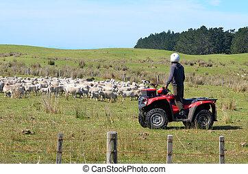 Shepherd during Sheep herding in New Zealand - KARIKARI, NZL...