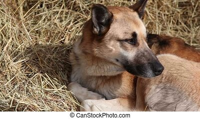 Shepherd lies on hay, snow falls at sunny day, closeup view