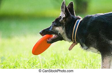 Shepherd puppy with frisbie disk