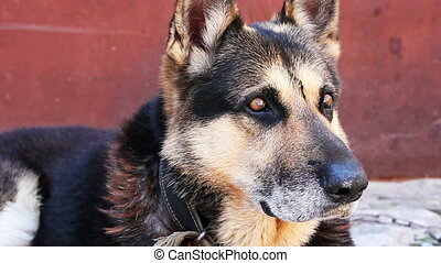 Shepherd - German shepherd dog sitting, close-up.