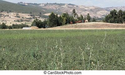 shepherd with his herd - shepherd in ethiopia walking with...
