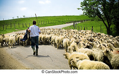 Shepherd with his sheep herd - Traditional farming -...