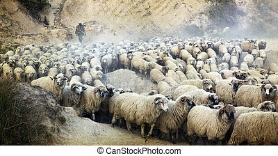 Shepherd with its flock, old photo - Vintage photo of...