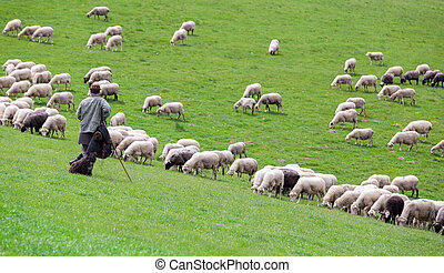 Shepherd with sheep herd
