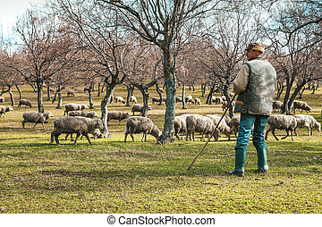 Shepherd with sheep in the pasture