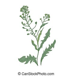 Shepherd's purse flowers or inflorescences isolated on white background. Botanical drawing of wild flowering herbaceous plant used in culinary and phytotherapy. Colored realistic vector illustration.