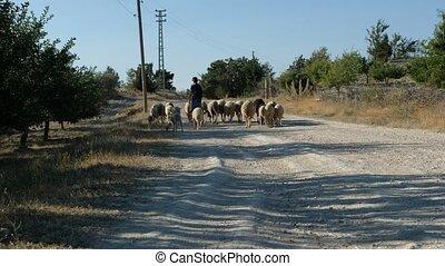 Shepman carrying sheep videos