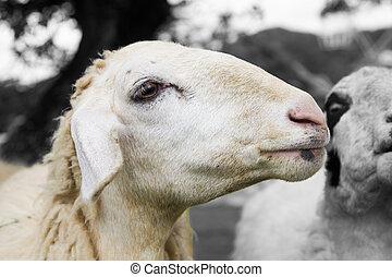 shepp - close up sheep