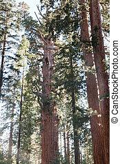 Sherman Tree Trail - General Sherman Tree trail in Sequoia ...