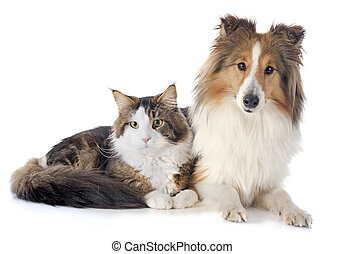 shetland dog ans maine coon cat - portrait of a purebred...