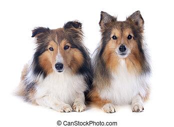 shetland, honden
