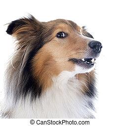 shetland, hund